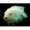 Аквариумная рыбка Белый принц