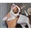 Большой выбор щенокв чихуахуа