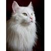 Ищет дом ангорский кот!