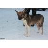 Отдается в заботливые руки молодая стерилизованная собака Курочка
