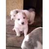 Продаю породистых щенков Алабая