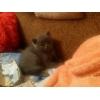 Шотландские котята (Скоттиш-страйт)