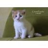 Шотландский котенок, недорого