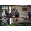 Продам бойных голубей северного Кавказа в Горловке