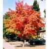 Деревья крупномерные для дизайна – недорого и качественно