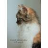 Кошечка шотландская  длинношерстная