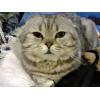 Красавец-кот для вязки