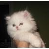 Куплю котенка персидского белого-шиншилу девочку