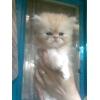 продам котят,персы и экзоты