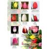 тюльпаны к 8 марта оптом