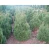 Вічно зелені декоративні рослини ,  туї,  самшит,  можевельник,  кипарисовик