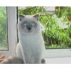 Кот, породы скоттиш-страйт, приглашает кошечек на вязку