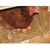Яйцо куриное Домашние