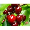 Продам саженцы плодовых деревьев и роз